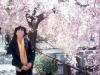 下諏訪の桜